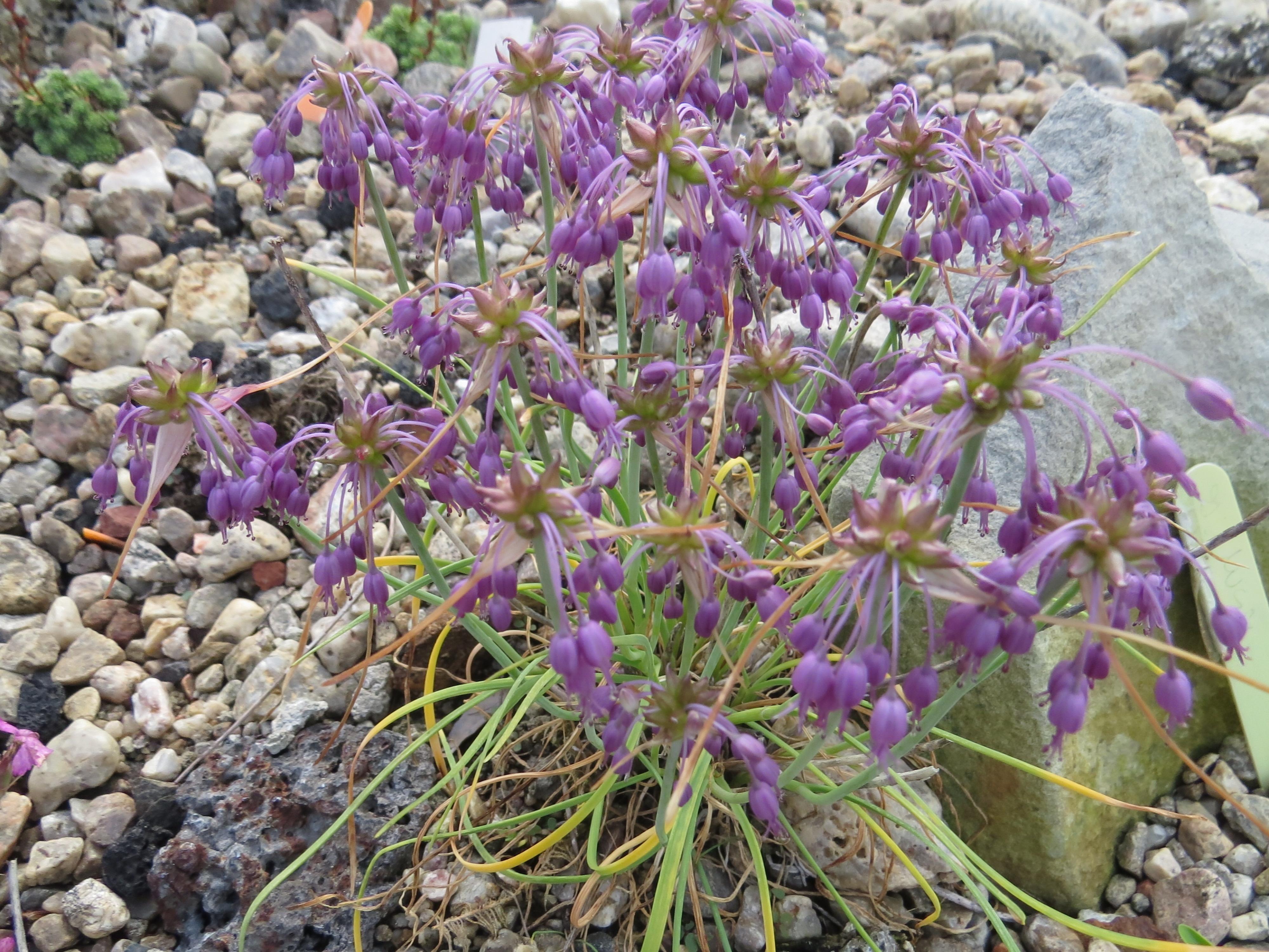 Allium_carinatum_Nanum_ml_0702alpine (33)