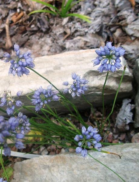 Allium_cyaneum-Pf_vivaceMLperennial_0820_0_11px