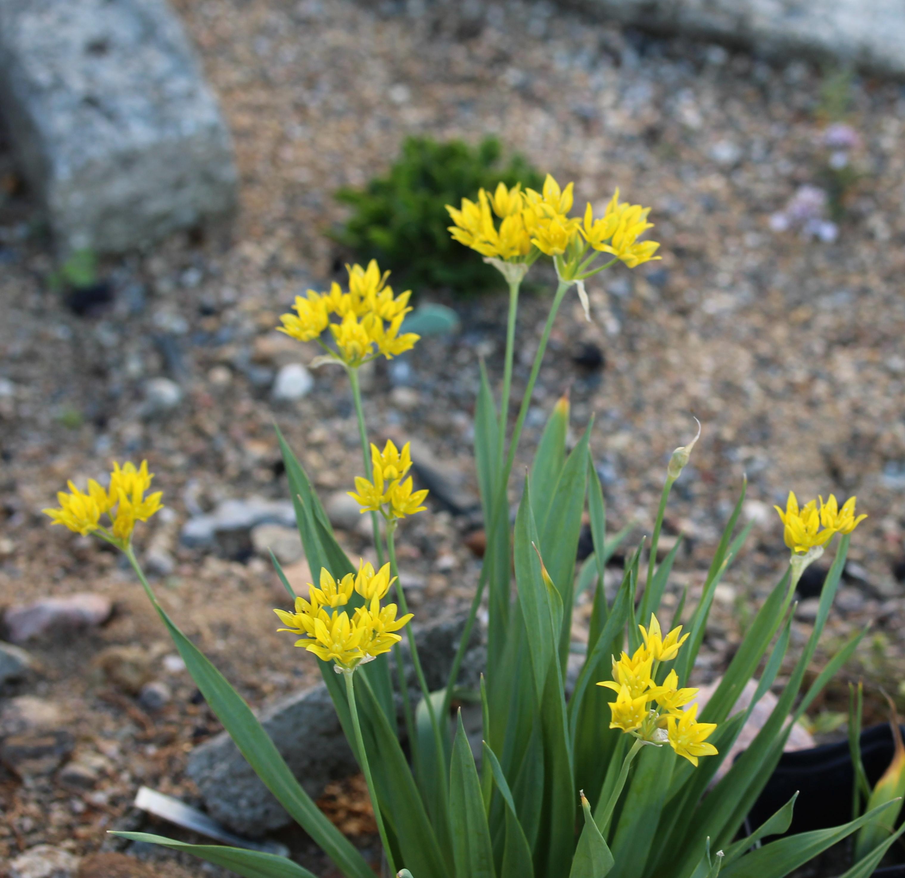 Allium_moly-ML_0616-T