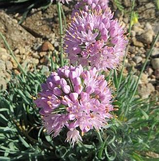 Allium_senescens_Marjo_0823-t