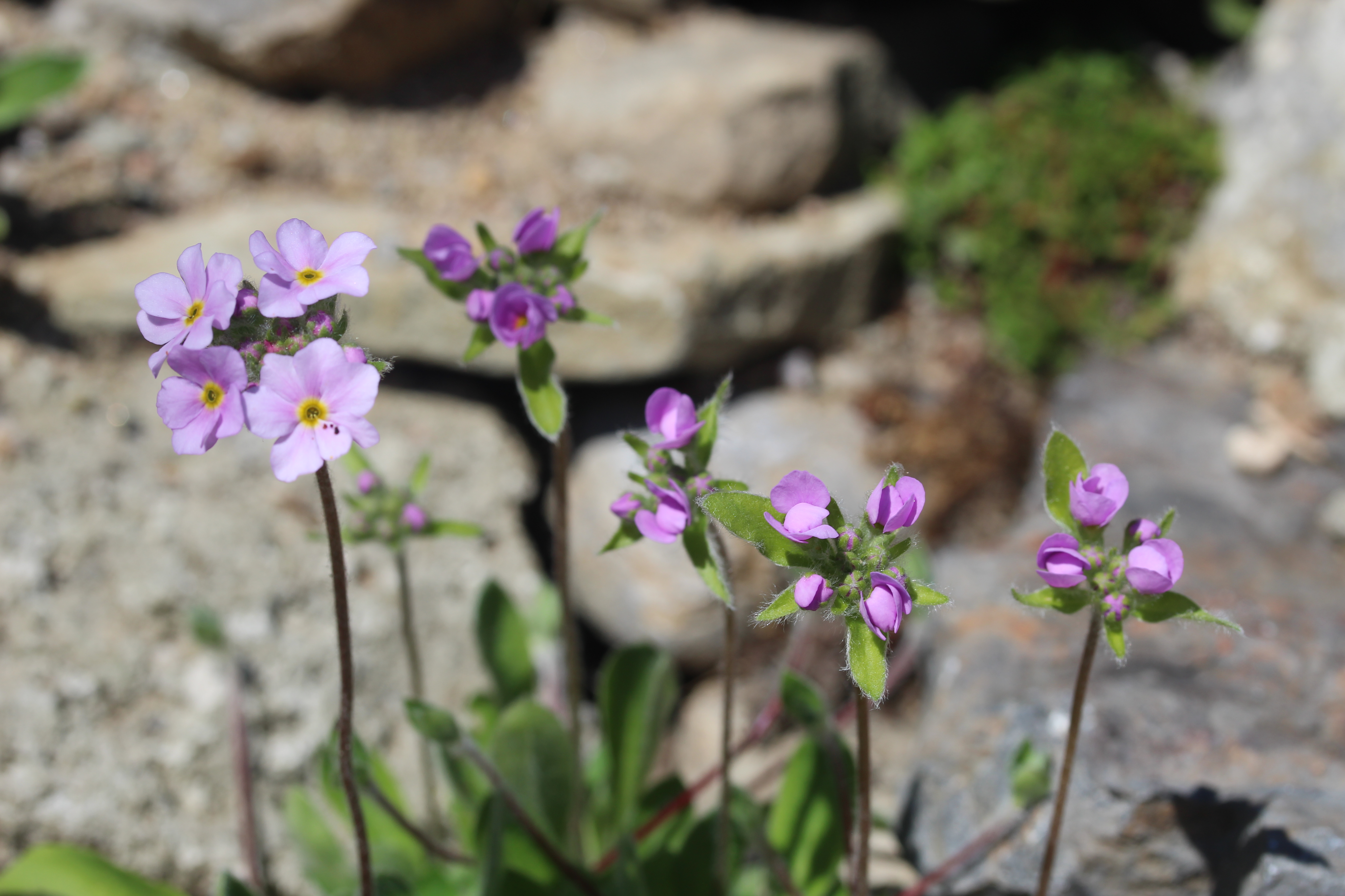 Androsace_primuloides-ML_0607 (9)