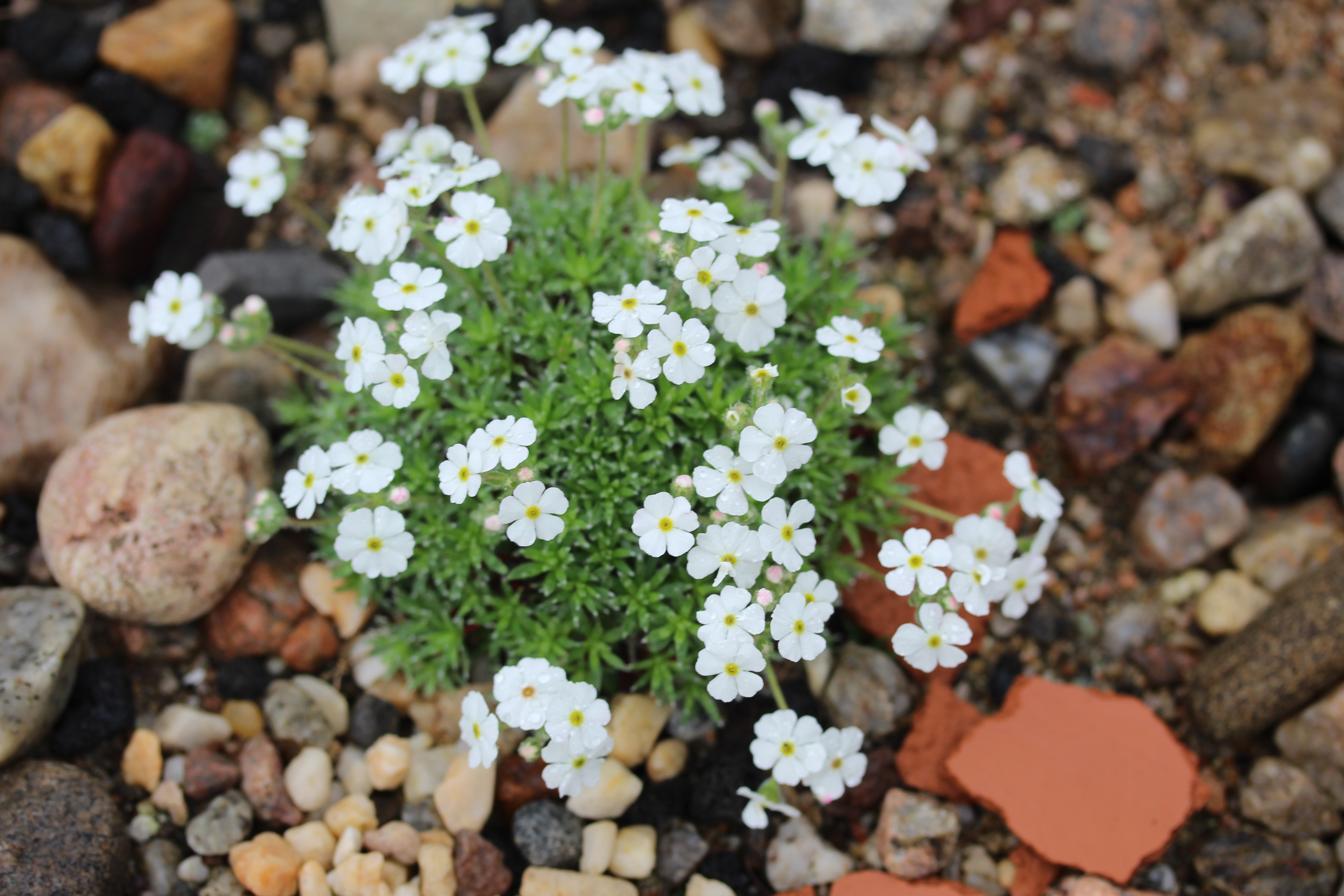 Androsace_pubescens x helvetica (3)