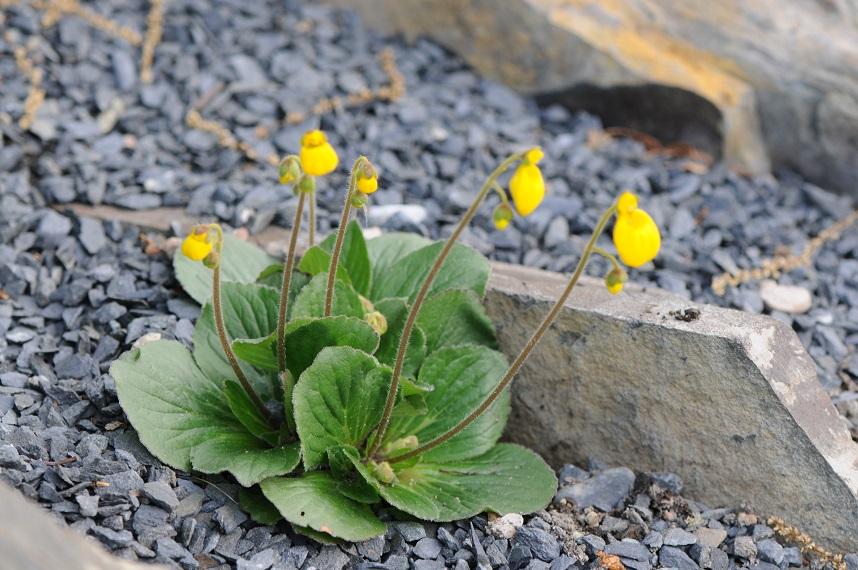 Calceolaria biflora 20110611-1 STA