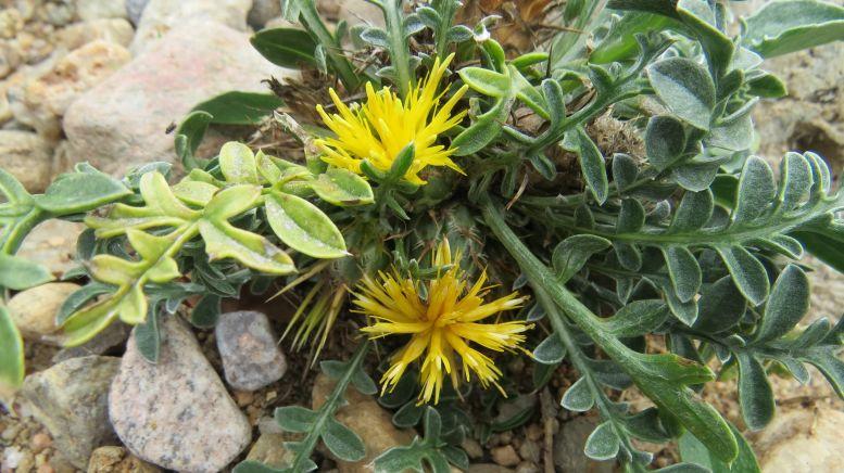 Centaurea_pest-Marjo_0826