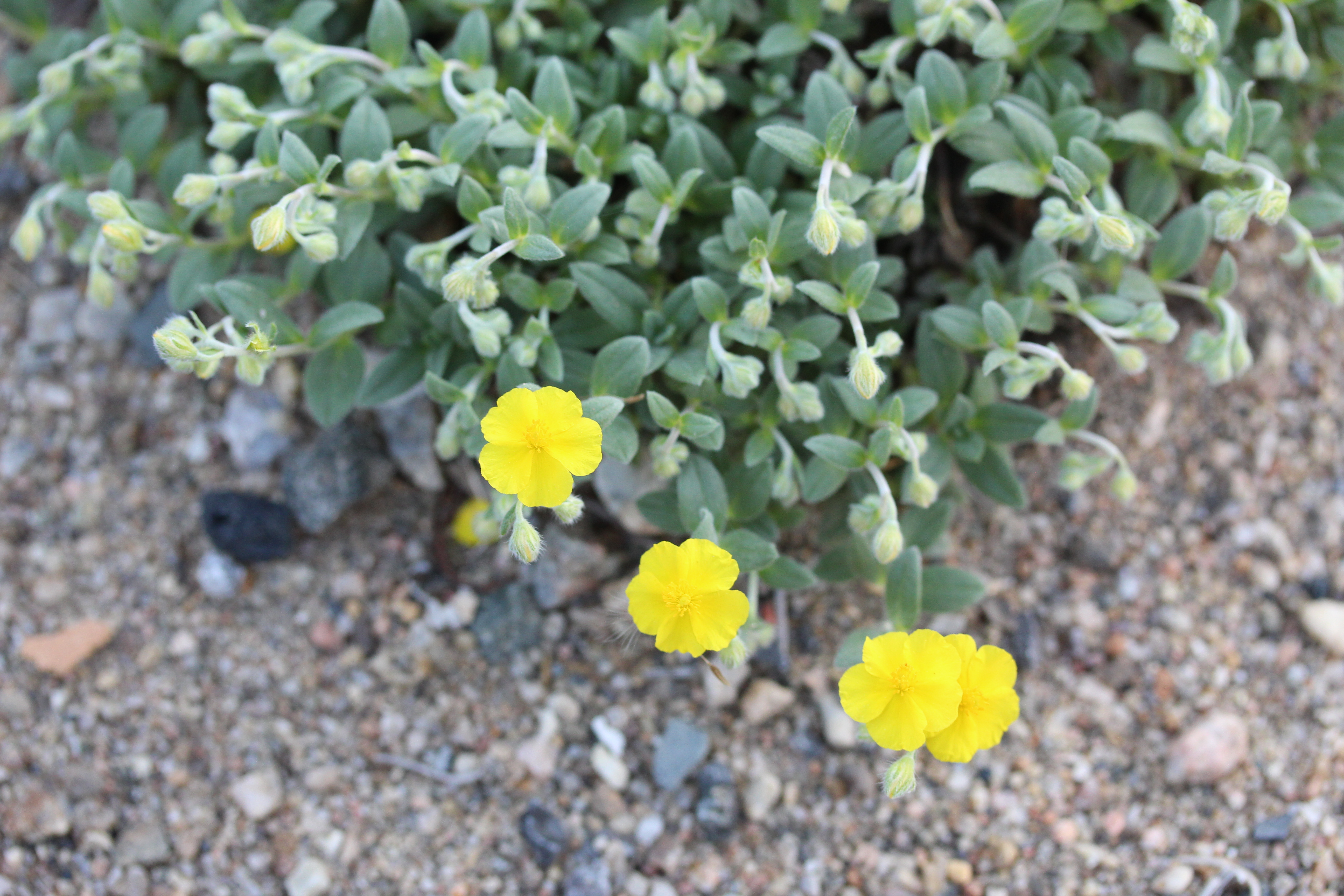 Crocanthemum_canadense-ML-alpine_-6-1 (18)