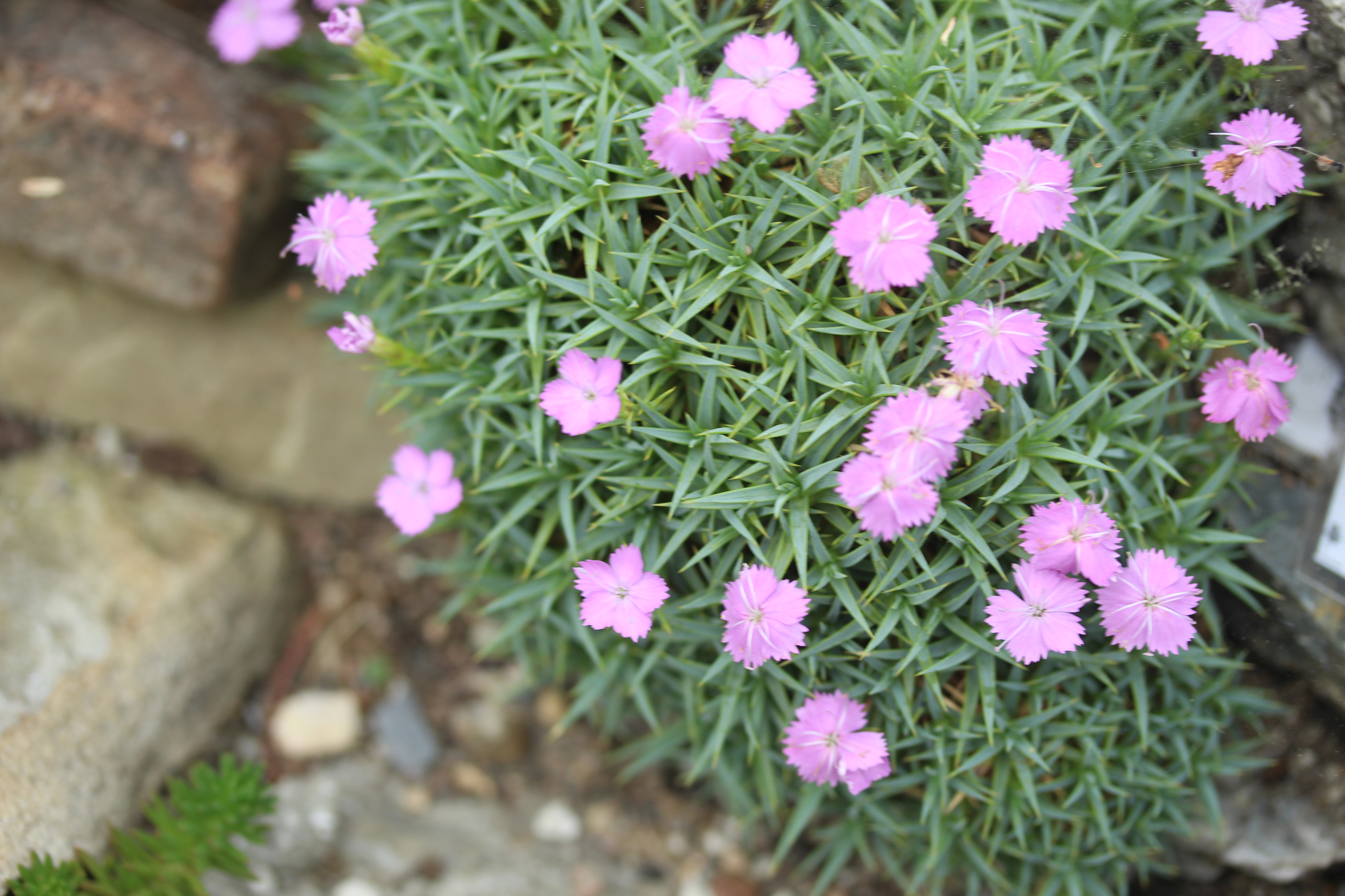 Dianthus_webbianus_alpinus-ML_0712 (15)