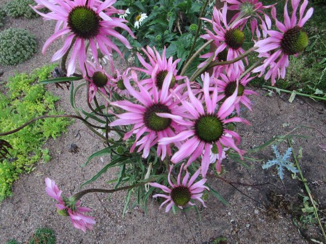 Echinacea_tennesseensis-ML_0628 (26)