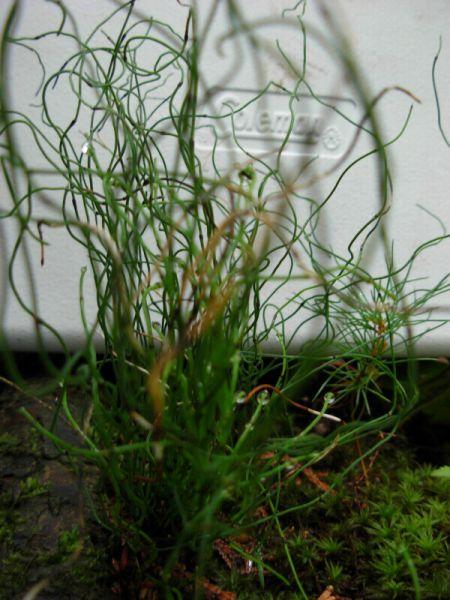 Equisetum_scorpoides_ML_0851_0825_800px