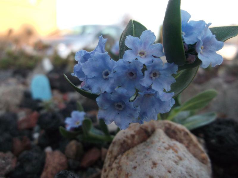 Mertensia_alpina-ML_0502-alpine (2)