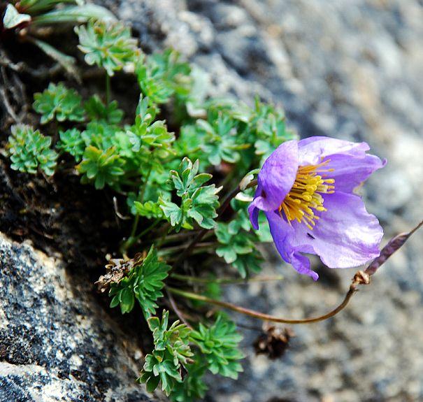 Paraquilegia_microphylla-Pf_Holubec