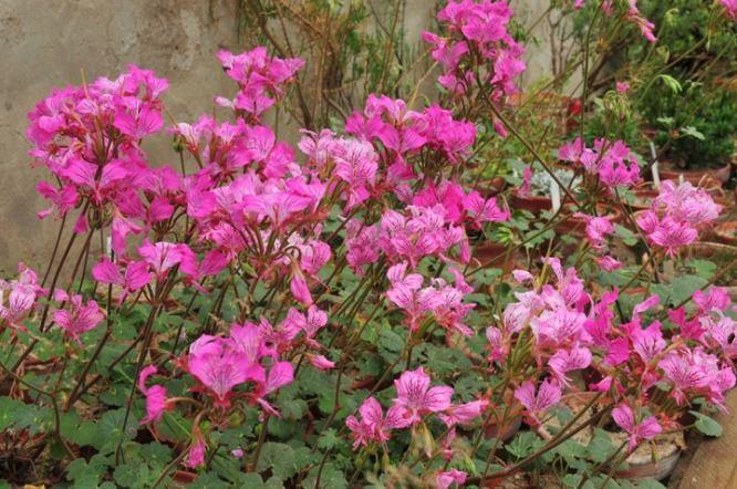 Pelargonium_endlicherianum-PeterKorn
