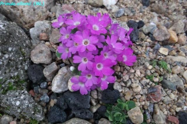 Primula_allionii-ML_0511alpine (24)