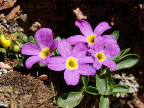 Primula_angustifolia-Alplains