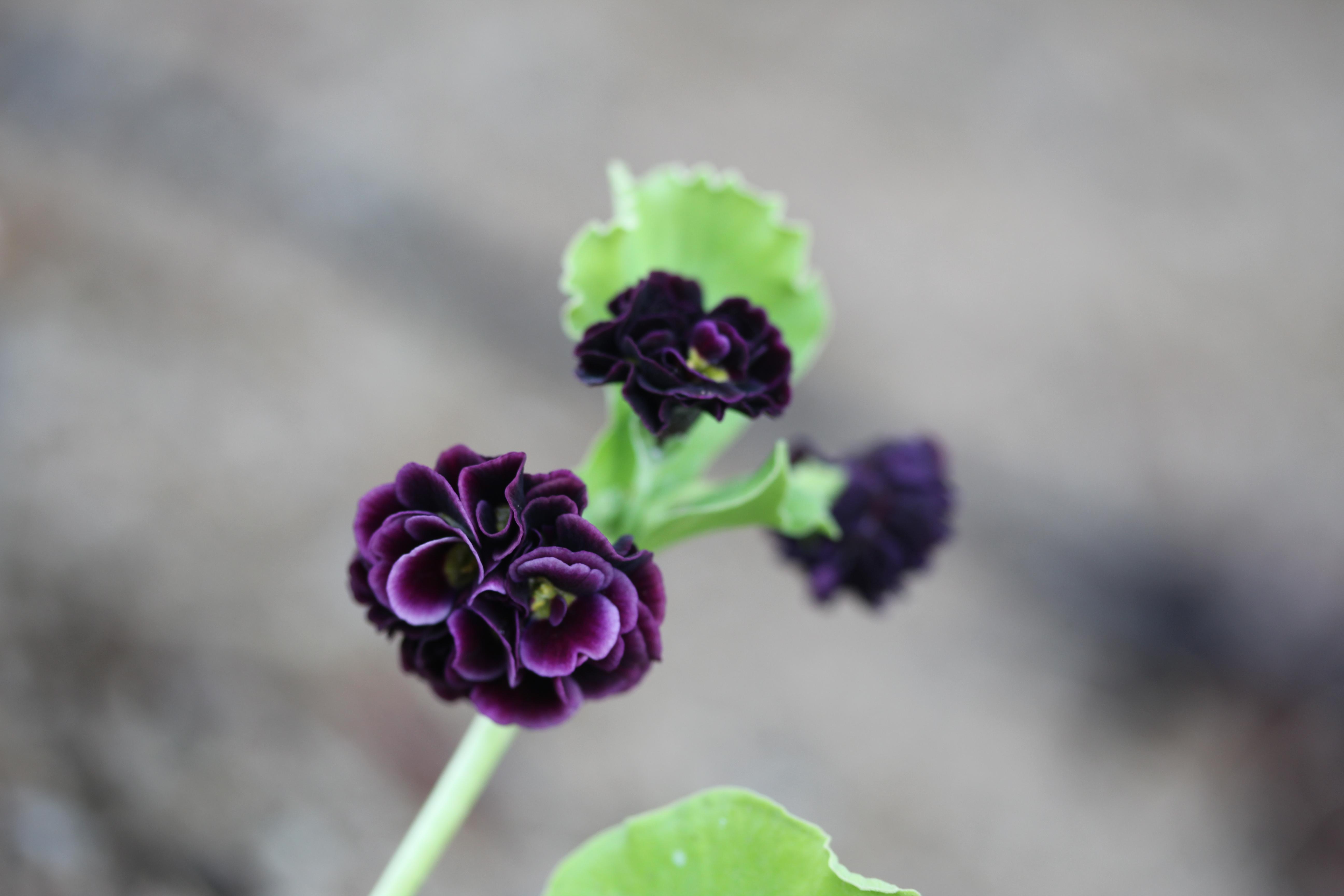 Primula_auricula_Bacchante-ML_0527 (22)