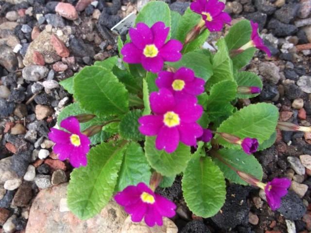 Primula_juliae_Wanda-ML-0511alpine (3)