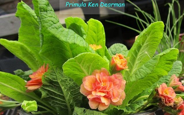 Primula_Ken Dearman_ML_0606--e