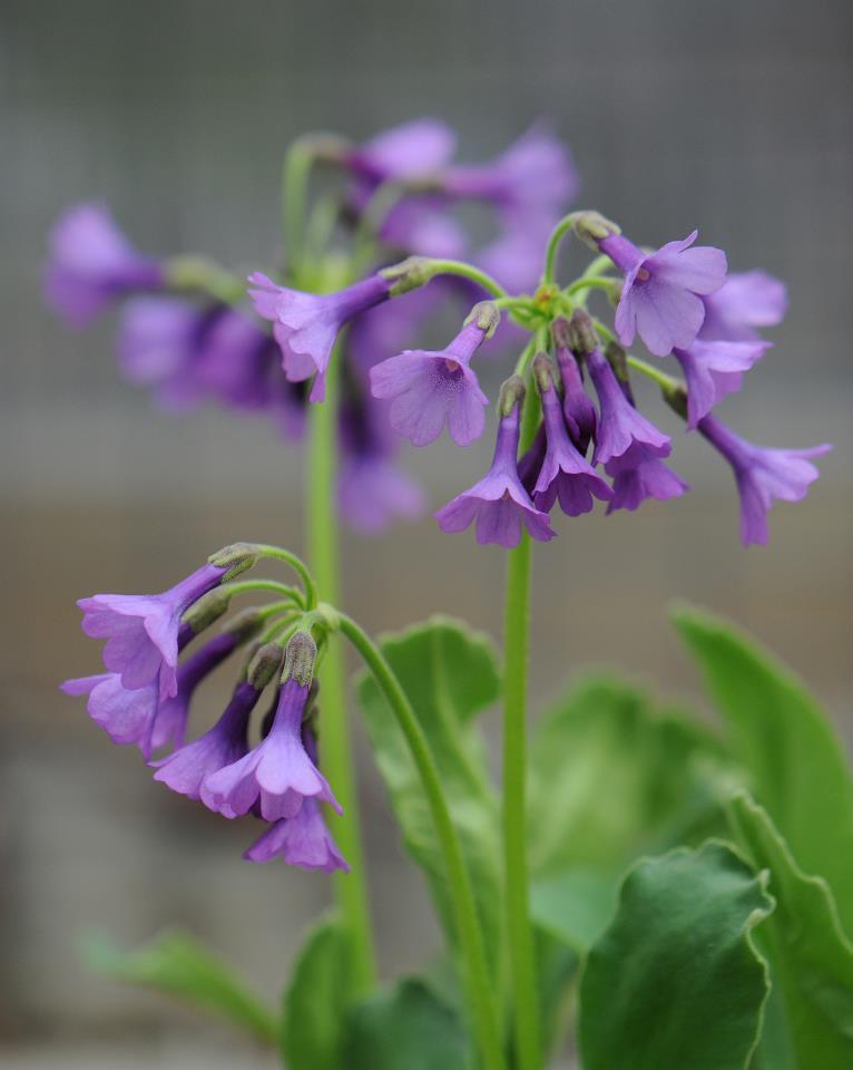 Primula_latifolia_graveolens-TB