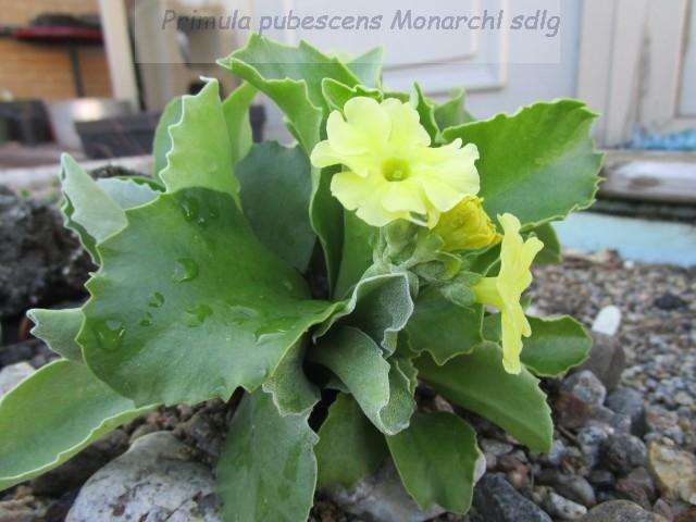 Primula_pubescens_Monarch-ML-alpine-0427--e_t