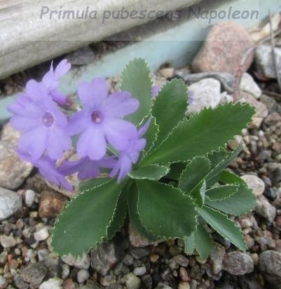 Primula_pubescens_Napoleon_ML-alpine-0508--e_t