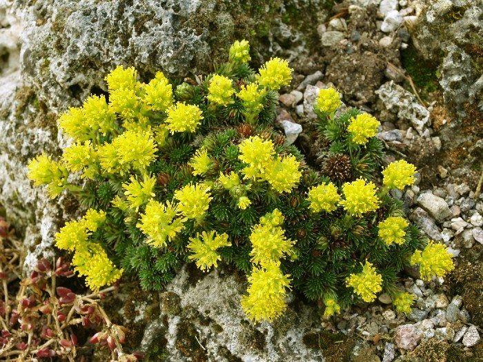 Saxifraga_juniperifolia-ZeRehacek