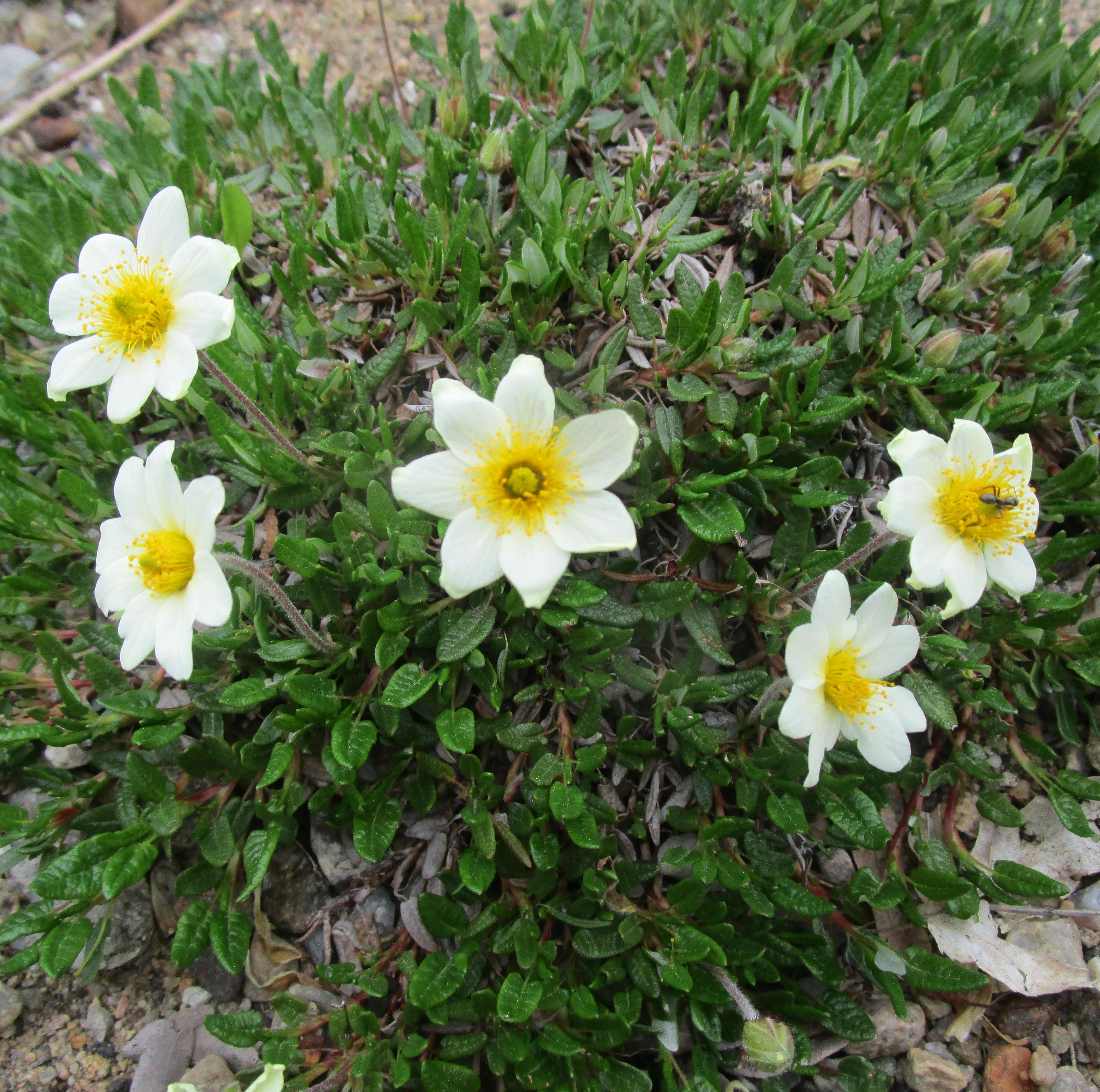Dryas_integrifolium-ML_0516 alpine-t