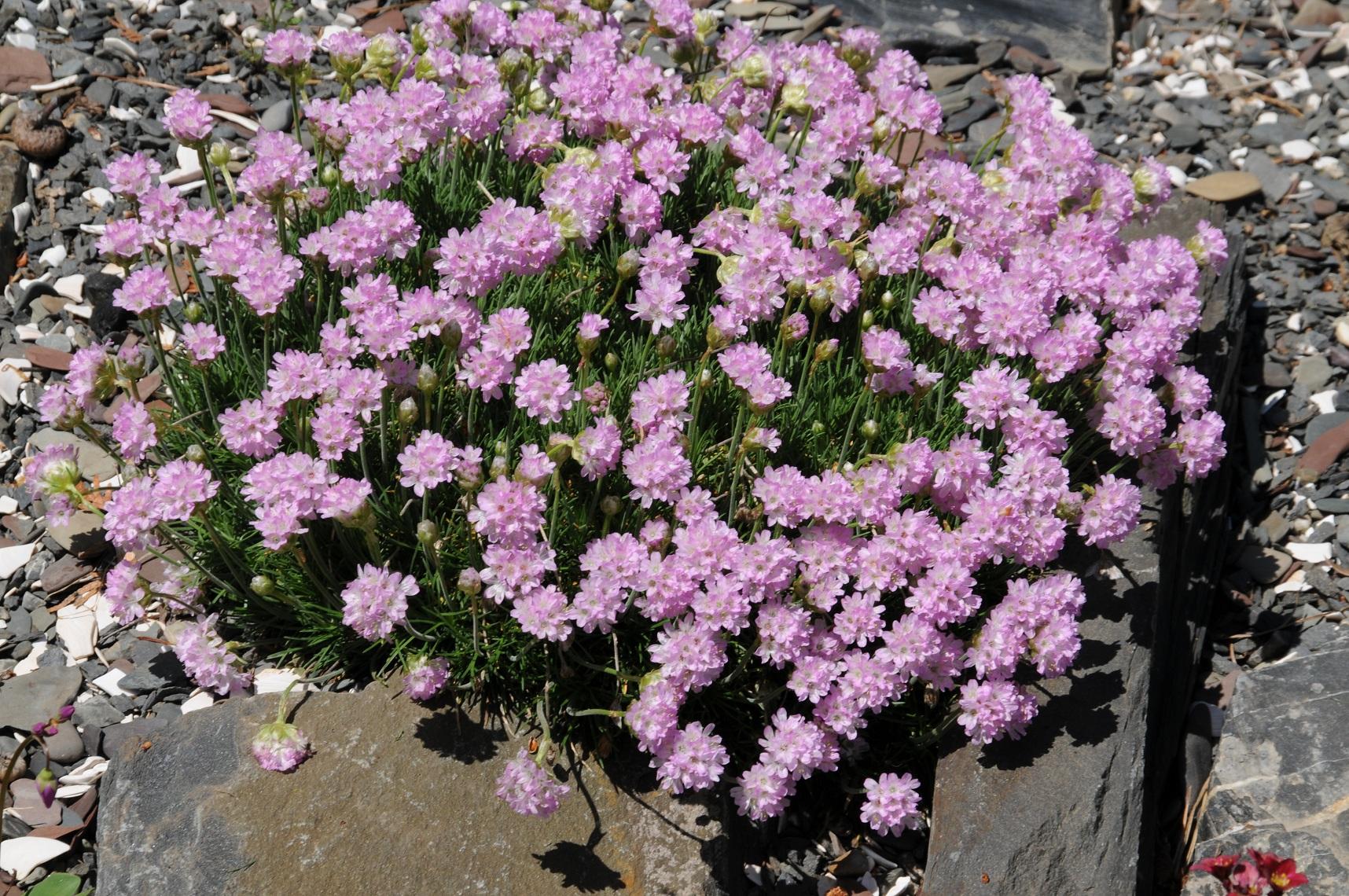 Armeria juniperifolia (Armérie à feuille de genévrier) 20120524-1 STA