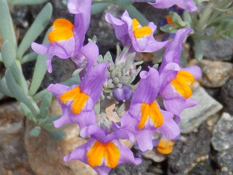 Linaria_alpina-Marjo (88)
