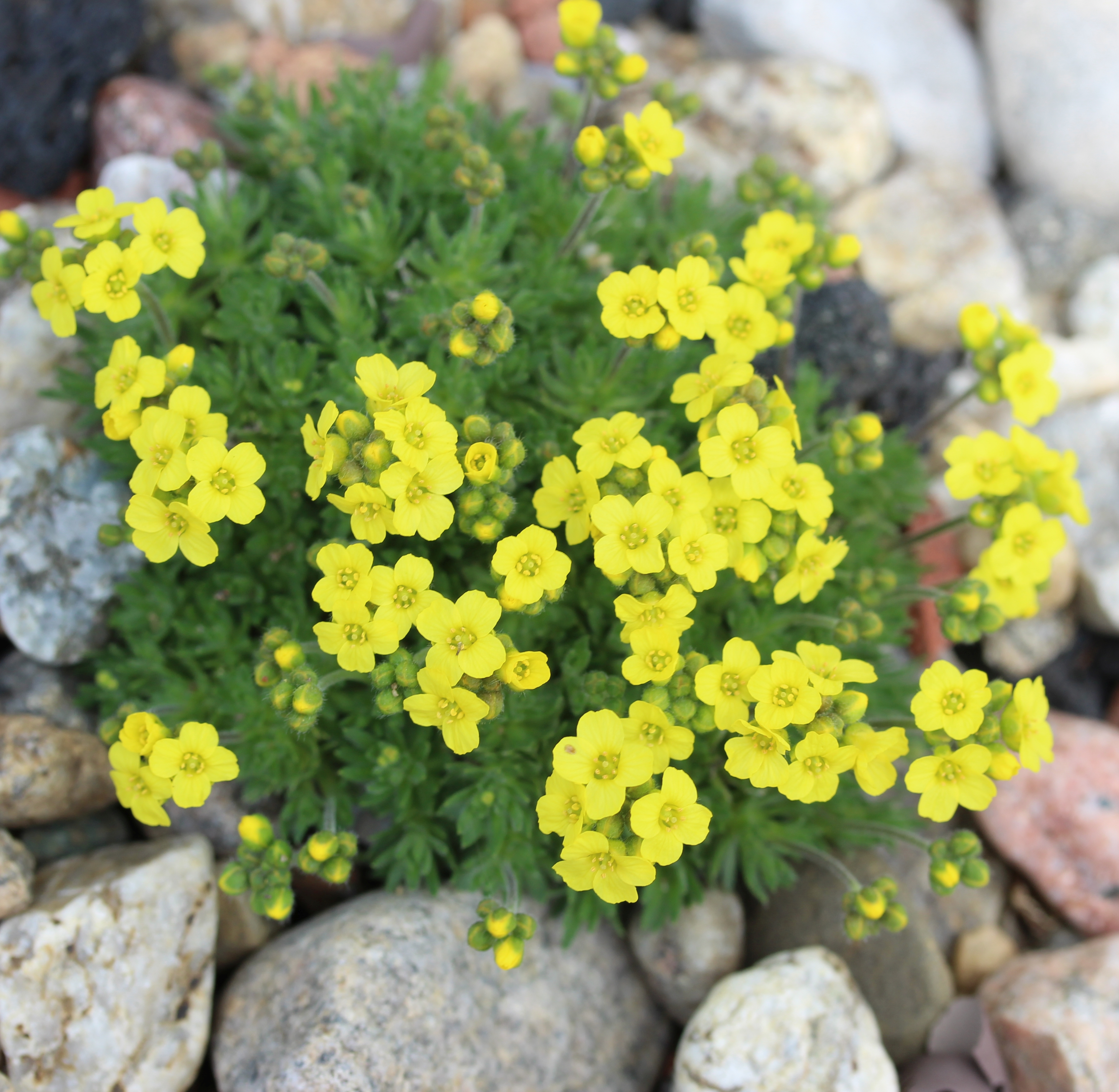 Draba_bruniifoliaHeterocoma_Nana-ML_0501-t2